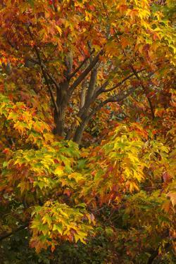Silver maple tree and fall foliage at Arnold Arboretum, Boston, Massachusetts. by Howie Garber