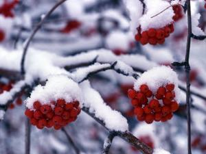 Snow on Mountain Ash Berries, Utah, USA by Howie Garber