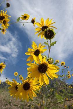 Sunflowers Holladay, Utah by Howie Garber