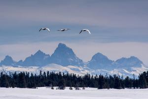 Trumpeter swans on the Harriman Ranch in Idaho with the Tetons in the background by Howie Garber
