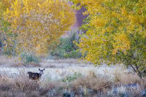 Whitetail deer grazing under autumn cottonwood tree, near Moab, Utah, USA. by Howie Garber