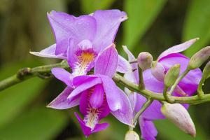 Wild Orchid, Cloud Forest, Upper Madre De Dios River, Peru by Howie Garber