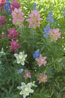 Wildflowers, Alta Ski Resort, Uinta-Wasatch-Cache Nf, Utah by Howie Garber
