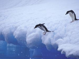 Adelie Penguins Dive from an Iceberg, Antarctica by Hugh Rose