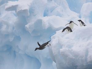 Adelie Penguins, Paulet Island, Antartica, Antarctic by Hugh Rose