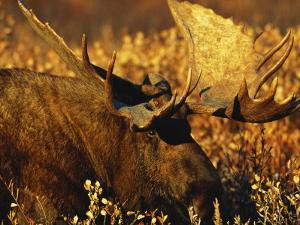 Bull Moose Standing Amongst Willow Bushes, Denali National Park, Alaska, USA by Hugh Rose