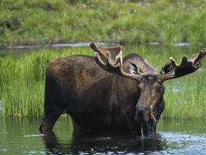 Bull Moose Standing in Tundra Pond, Denali National Park, Alaska, USA by Hugh Rose
