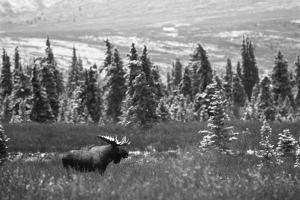 Bull Moose Wildlife, Denali National Park and Preserve, Alaska, USA by Hugh Rose