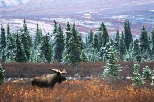 Bull Moose Wildlife, Denali National Park and Preserve, Alaska, USA by Hugh Rose