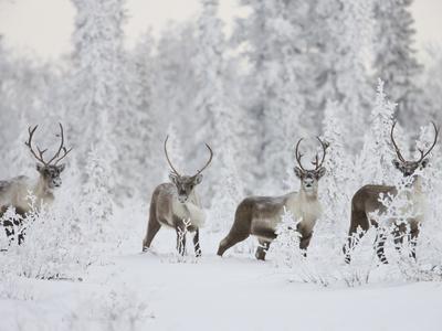 Caribou, Finger Mountain, Alaska, USA