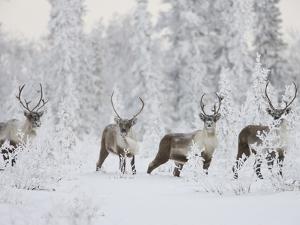 Caribou, Finger Mountain, Alaska, USA by Hugh Rose