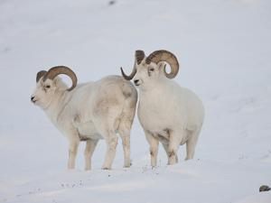 Dall Sheep Rams, Arctic National Wildlife Refuge, Alaska, USA by Hugh Rose