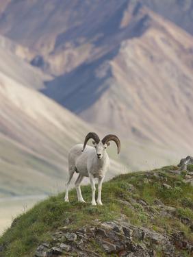 Dall Sheep Rams, Denali National Park, Alaska, USA by Hugh Rose