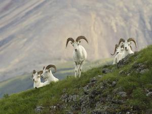Dam Sheep Rams, Denali Park Road, Alaska, USA by Hugh Rose