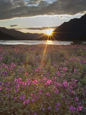 Dwarf Fireweed, Arctic National Wildlife Refuge, Alaska, USA by Hugh Rose