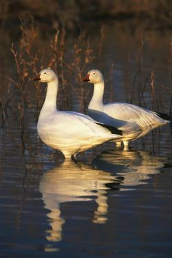 Geese Standing in Pool, Bosque Del Apache National Wildlife Refuge, New Mexico, USA by Hugh Rose