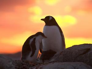 Gentoo Penguin and Chick, Antarctica by Hugh Rose