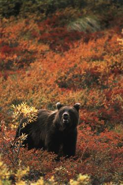 Grizzly Bear, Denali National Park and Preserve, Alaska, USA by Hugh Rose