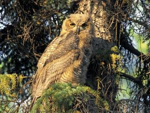 Immature Great Horned Owl in a Spruce Tree, Fairbanks, Alaska, USA by Hugh Rose