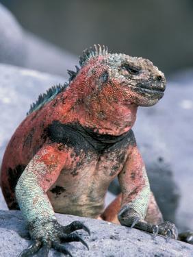 Marine Iguanas During Mating Season, Espanola Island, Galapagos Islands, Ecuador by Hugh Rose