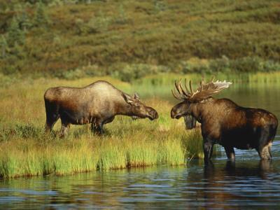 Moose Standing by Wonder Lake, Denali National Park, Alaska, USA