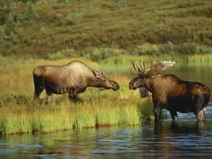 Moose Standing by Wonder Lake, Denali National Park, Alaska, USA by Hugh Rose
