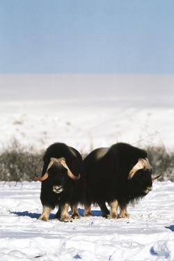 Musk Ox Bull Wildlife, Arctic National Wildlife Refuge, Alaska, USA by Hugh Rose