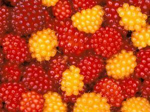 Salmonberries, Baranoff Island, Alaska, USA by Hugh Rose