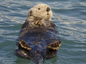 Sea Otter, Prince William Sound, Alaska, USA by Hugh Rose