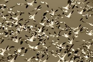 Snow Geese Bird, Bosque Del Apache National Wildlife Refuge, New Mexico, USA by Hugh Rose