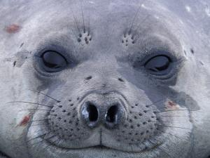 Southern Elephant Seal Yearling, South Georgia Island, Antarctica by Hugh Rose