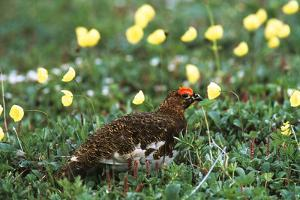 Willow Ptarmigan Bird in Poppy Field, Denali National Park and Preserve, Alaska, USA by Hugh Rose