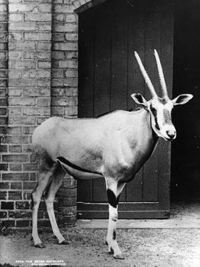 Beisa Antelope by Hulton Archive