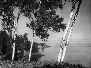 Birch Trees on Lake Superior Shore by Hulton Archive