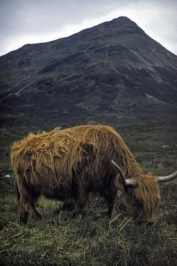 Highland Bull by Hulton Archive