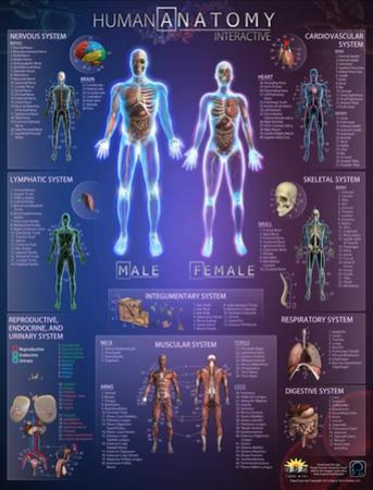 Human Anatomy Interactive Wall Chart