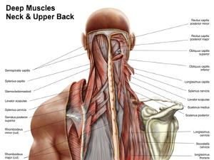 Human Anatomy Showing Deep Muscles in the Neck and Upper Back