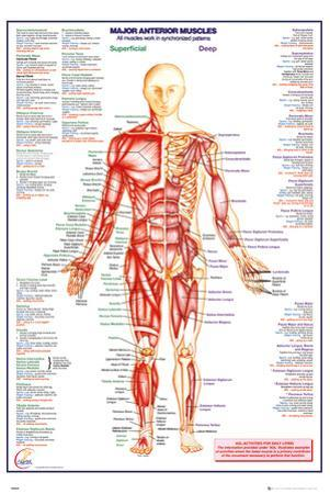 Human Body Major Anterior Muscles