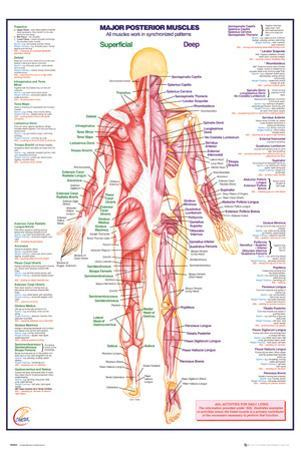 Human Body Major Posterior Muscles