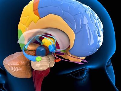 https://imgc.allpostersimages.com/img/posters/human-brain-anatomy-artwork_u-L-PZGGSM0.jpg?artPerspective=n