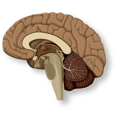 https://imgc.allpostersimages.com/img/posters/human-brain-anatomy-artwork_u-L-PZIAA80.jpg?artPerspective=n