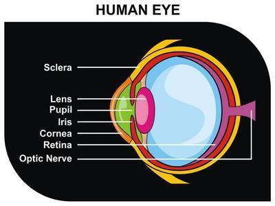 https://imgc.allpostersimages.com/img/posters/human-eye-cross-section_u-L-POETS30.jpg?p=0