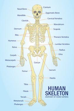 Human Skeleton Anatomy Anatomical Ch