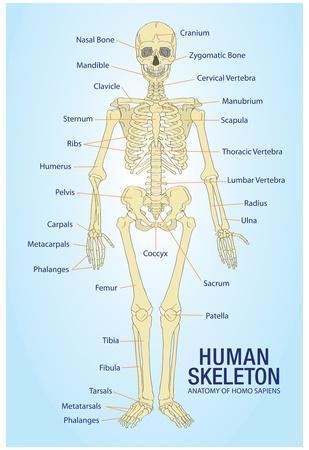 Skeleton Human Body Bones Diagram In Sinhala Diy Enthusiasts