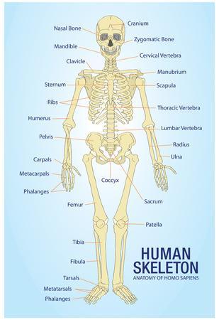 Skeleton Poster Human Body Anatomy Skeletal Wall Chart