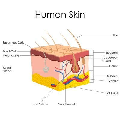 https://imgc.allpostersimages.com/img/posters/human-skin-anatomy_u-L-POES1O0.jpg?p=0