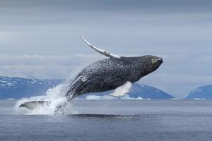 Humpback Whale Calf Breaching in Disko Bay in Greenland