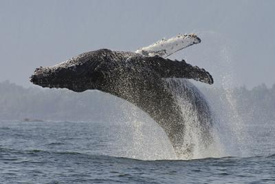 https://imgc.allpostersimages.com/img/posters/humpback-whale-megaptera-novaeangliae-adult-breaching-vancouver-island-british-columbia_u-L-Q13A9A00.jpg?p=0