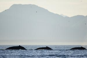 Humpback Whales Feeding Along Point Adolphus at Sunset