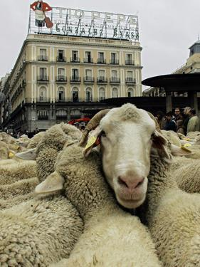 Hundreds of Sheep are Driven Along Sol Square During the Annual Parade Through Madrid